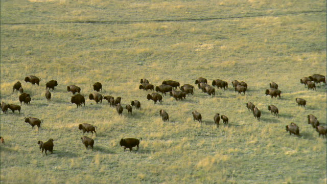 vídeos de stock, filmes e b-roll de aerial shot of a herd of bison moving across rolling grassland near bozeman, mt - bozeman