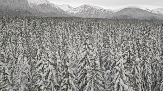 Aerial shot of a vast spruce forest in winter time
