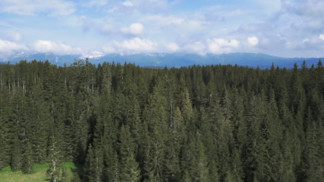 Aerial shot of a vast spruce tree forest area