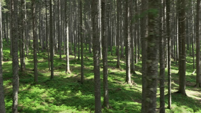 Aerial shot of a vast spruce tree forest understory layer