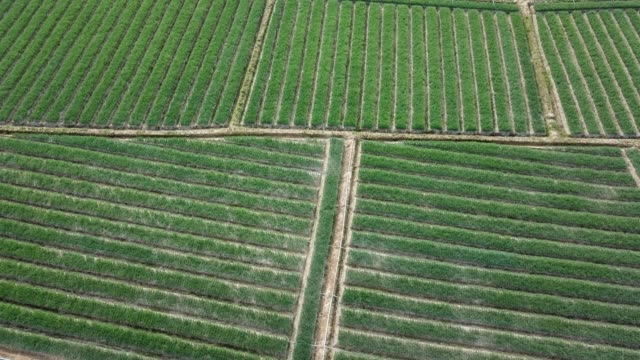 aerial shot of agriculture onion field in asia - shallot stock videos & royalty-free footage