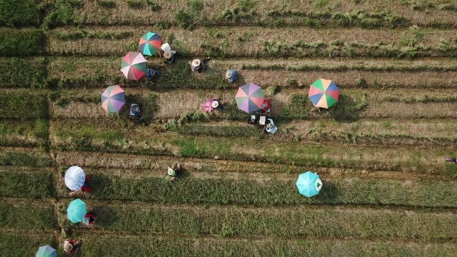 aerial shot of agriculture onion field - shallot stock videos & royalty-free footage