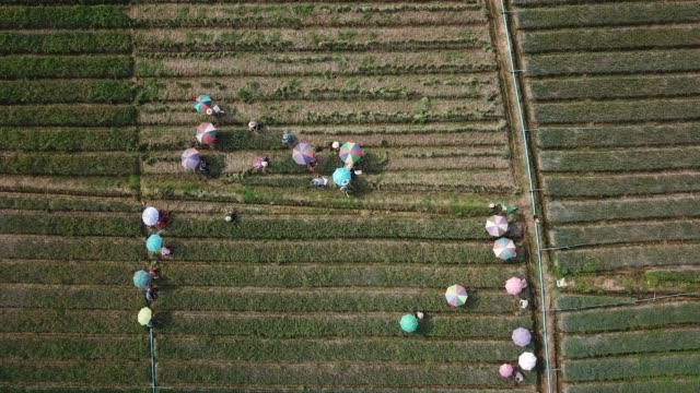 aerial shot of agriculture onion field - fare la raccolta video stock e b–roll