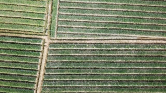 aerial shot of agriculture onion field - onion stock videos & royalty-free footage