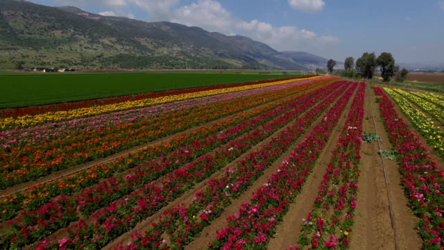 stockvideo's en b-roll-footage met aerial shot of anemone flower field in the hula valley - ranonkel