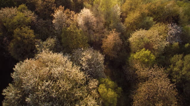 aerial shot of blossoming cherry tree crowns of mixed forest