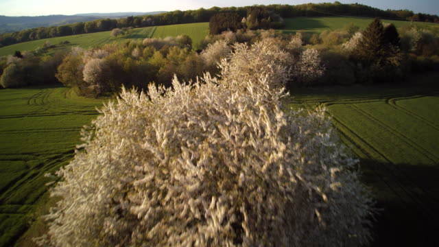aerial shot of blossoming cherry trees in uprising green fields