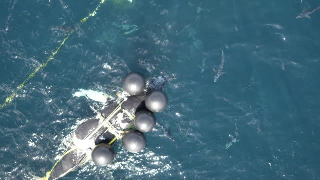 Aerial shot of blue sharks feeding on dead humpback whale