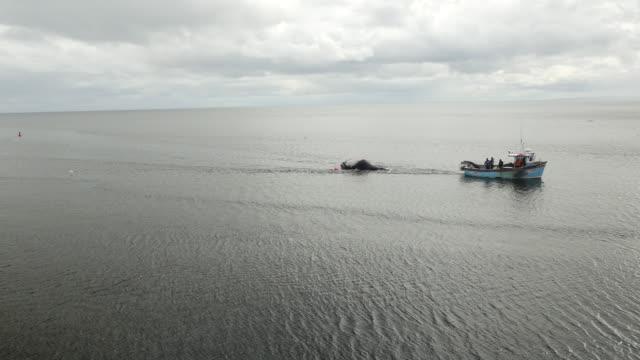 vídeos de stock e filmes b-roll de aerial shot of boat towing humpback whale towards helmsdale harbour - cetáceo