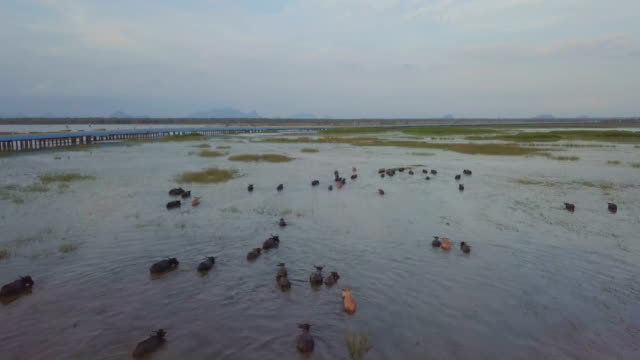aerial shot of buffalo herd running on still water at thale noi waterfowl reserve, phattalung, thailand - water buffalo stock videos & royalty-free footage