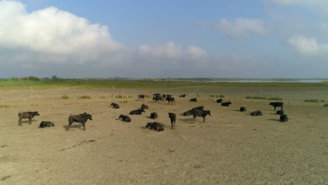 aerial shot of cows relaxing on field against sky on sunny day, drone flying over livestock - camargue, france - camargue stock-videos und b-roll-filmmaterial