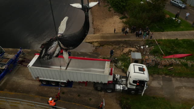 aerial shot of dead humpback whale being craned in to a lorry - landfill stock videos & royalty-free footage