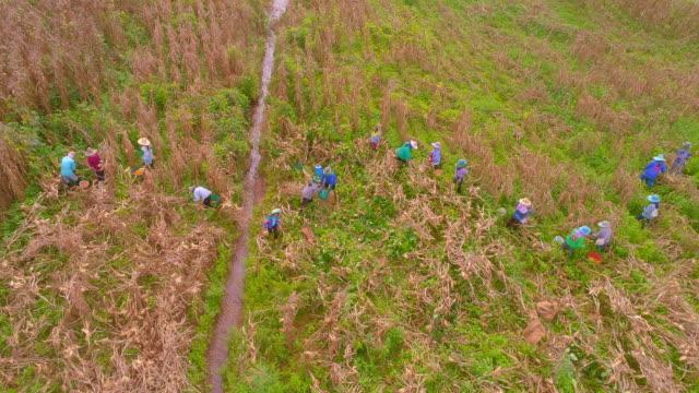 Aerial Shot d'agriculteur récolte maïs