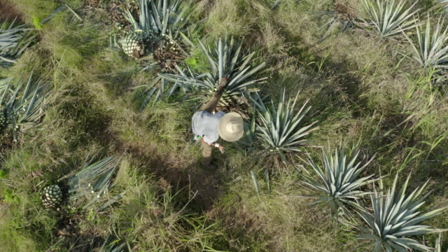 aerial shot of farmers harvesting at agave tequilana field, drone flying over farm on sunny day - yucca stock videos & royalty-free footage