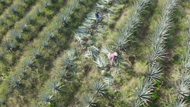 aerial shot of farmers harvesting at agave tequilana field, drone flying forward over farm on sunny day - yucca stock videos & royalty-free footage