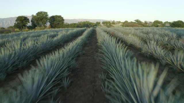 aerial shot of green plants on field by town against sky, drone ascending forward over agave tequilana at farm - tropical tree stock videos & royalty-free footage