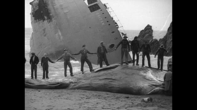 aerial shot of half sunken ship and a beached whale on the shore / men inspect the whale as others carve the meat / men stand on top of whale and... - 1938 stock videos and b-roll footage