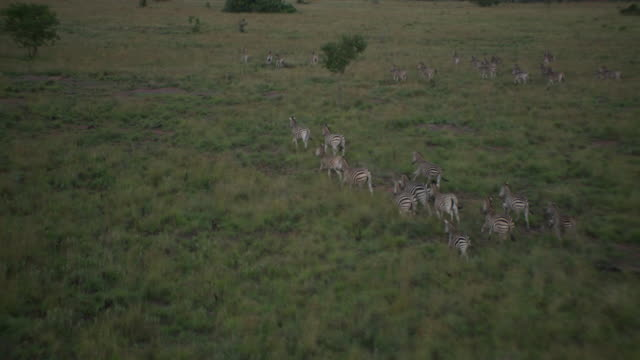 Aerial shot of herd of zebra running