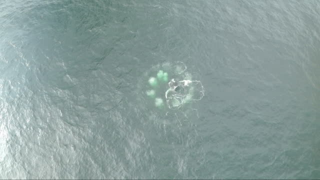 Aerial shot of humpback whale bubble netting off Irish coast 1