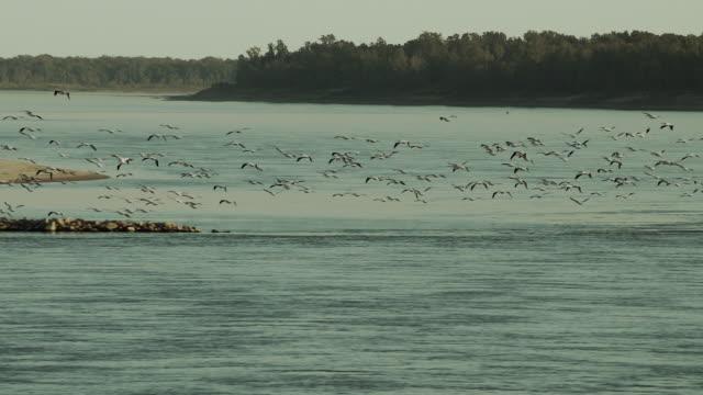 aerial shot of large flock of pelicans - 米メキシコ湾沿岸点の映像素材/bロール