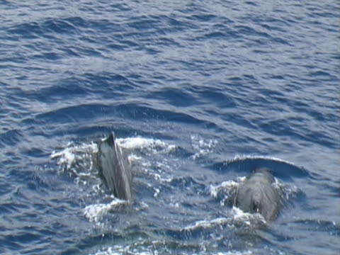 aerial shot of mother and baby sperm whale - wal stock-videos und b-roll-filmmaterial