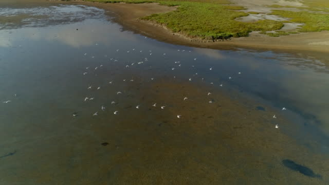 aerial shot of seagulls flying over lake on sunny day, drone flying over birds - camargue, france - camargue stock-videos und b-roll-filmmaterial