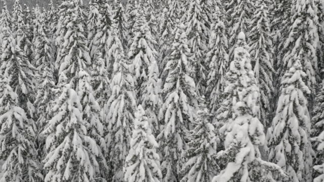 Aerial shot of snow covered spruce trees in winter forest