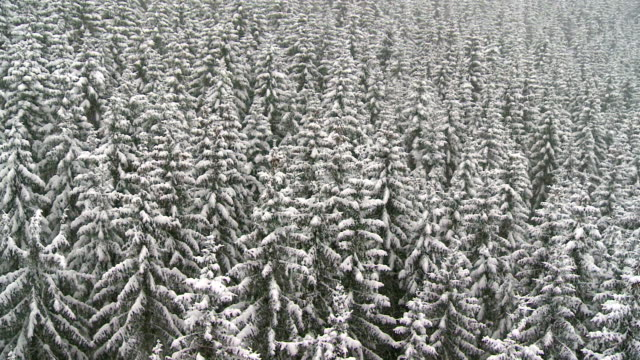 Aerial Shot Of Snowy Spruce Trees