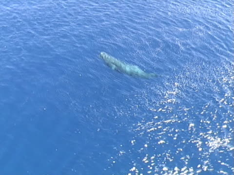 aerial shot of sperm whale surfacing - surfacing stock videos & royalty-free footage