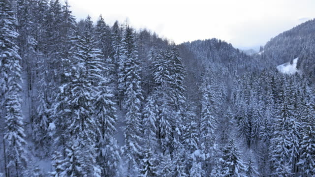 Aerial shot of spruce tree forest treetops in winter