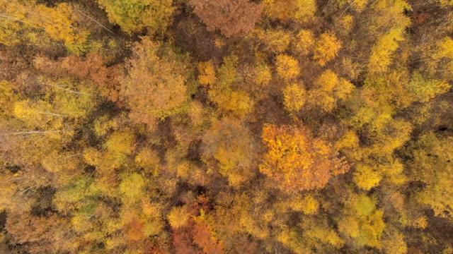 stockvideo's en b-roll-footage met aerial shot over forest golden fall birch tree crowns - berk