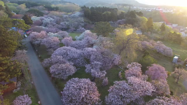 aerial shot taken by drone; long shot of matsumae park, hokkaido, japan. - cherry blossom stock videos & royalty-free footage