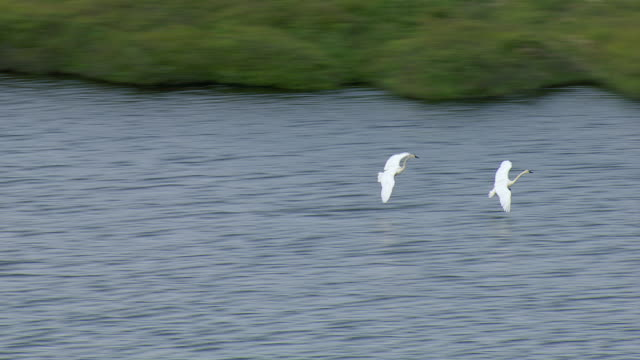Aerial Shot Tracking Swans Flying