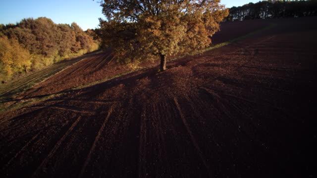 aerial shot up sunlit fall oak tree in fresh plouged field - plowed field stock videos and b-roll footage