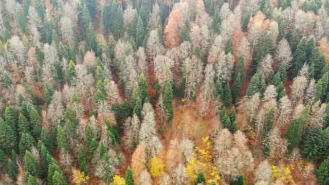 aerial shots of autumncolored mixed deciduous trees at abant nature park in bolu province of northwestern turkey on november 14 2019 - deciduous stock videos & royalty-free footage