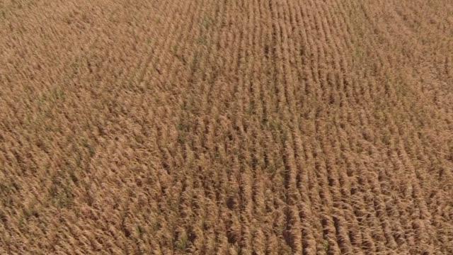 stockvideo's en b-roll-footage met aerial shots rise over an old wooden barn in tskilwa illinois to reveal a vast cornfield just before harvest aerial shot looks down as it flies... - aan elkaar bevestigd