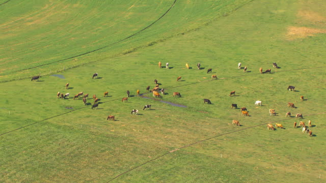 stockvideo's en b-roll-footage met aerial slow motion camera flies over a herd of brown black and white cattle grazing in a green field - hooi