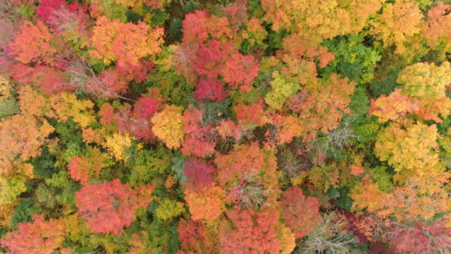 aerial spinning view of beautiful maple trees from looking down in algonquin park at daytime - canada stock videos & royalty-free footage