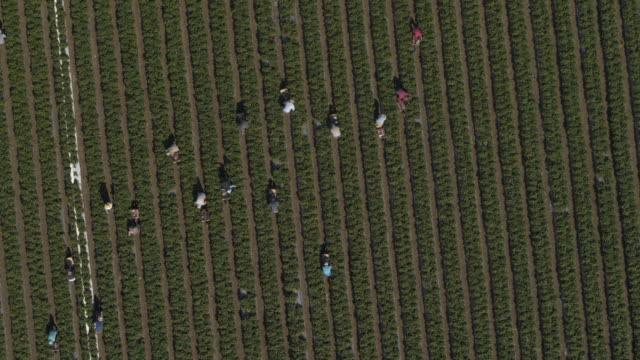 aerial spinning view of workers in strawberry field at farm / watsonville, california, united states - harvesting点の映像素材/bロール