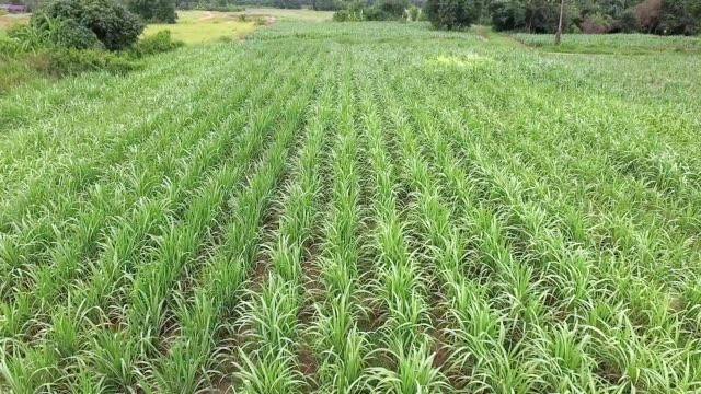 aerial sugar can field - sugar cane stock videos and b-roll footage