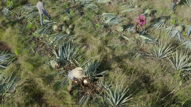 aerial tilt up shot of tourists by farmers harvesting plants at field, drone flying backward over farm on sunny day - tequila, mexico - cactus stock videos & royalty-free footage