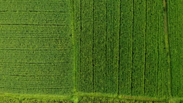 aerial top view: bright green rice fields, kuta, bali, indonesia - top capo di vestiario video stock e b–roll