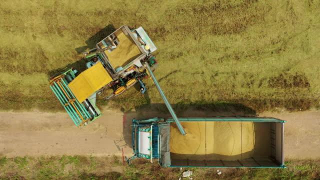 vídeos de stock, filmes e b-roll de vista aérea de topo combine colheitadeira descarregando arroz de jasmim para caminhão. - arroz alimento básico