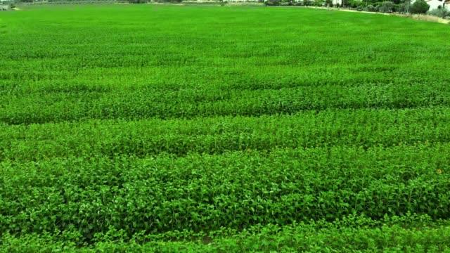 vídeos de stock, filmes e b-roll de campo verde da vista superior aérea - arroz alimento básico