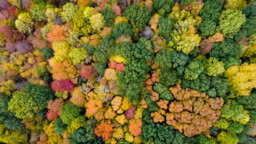 Aerial top view of colorful maple forest trees, fall season