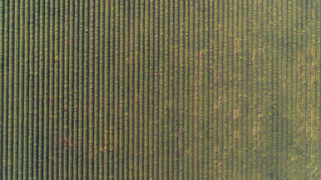aerial top view of green lavender field on sunny day, drone descending over rural landscape - valensole provence, france - moving down stock videos & royalty-free footage