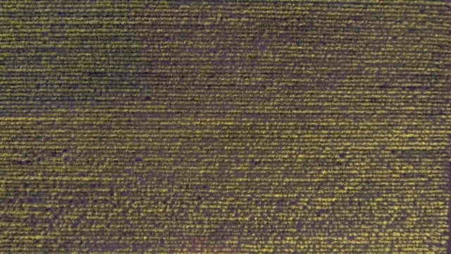 aerial top view of sugar cane organic farm with beautiful sunlight - sugar cane stock videos and b-roll footage