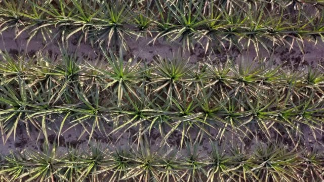 aerial top view pineapple plantation with sunlight. - pineapple stock videos & royalty-free footage