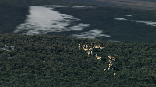 aerial track around pronghorn (antilocapra americana) herd, yellowstone, usa - プロングホーン点の映像素材/bロール