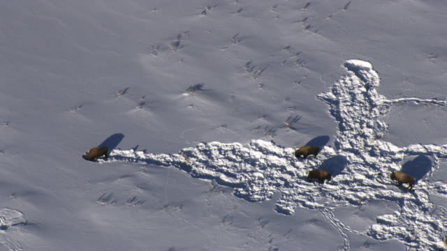aerial track over bison (bison bison) grazing in snow, yellowstone, usa - american bison stock videos & royalty-free footage